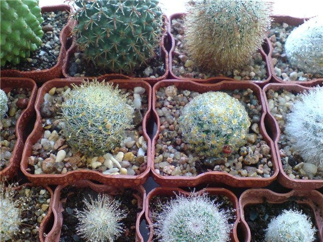 Все о кактусах: режим полива