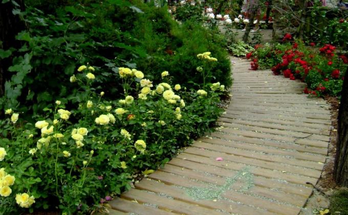 Розы флорибунда вдоль дорожки