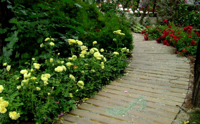 Rose floribunda along the track
