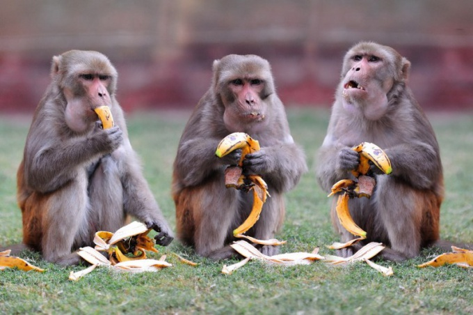 Monkeys are omnivores. Their favorite food is fruit.