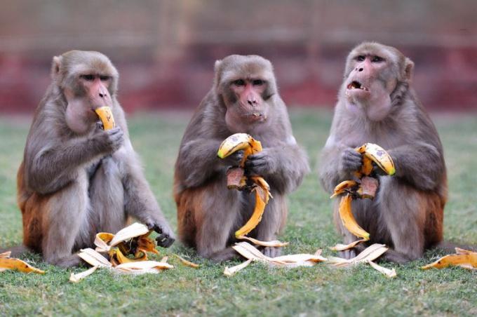 Обезьяны - всеядные существа. Излюбленная их пища - фрукты.