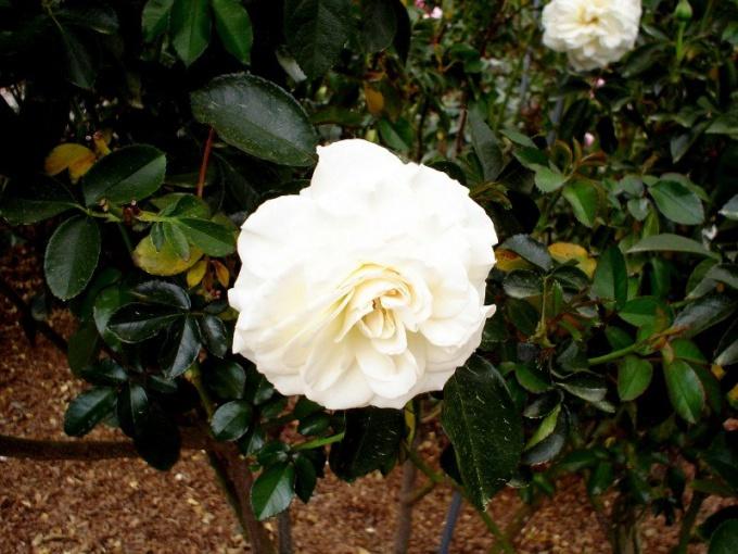 Роза - королева цветов и летней клумбы
