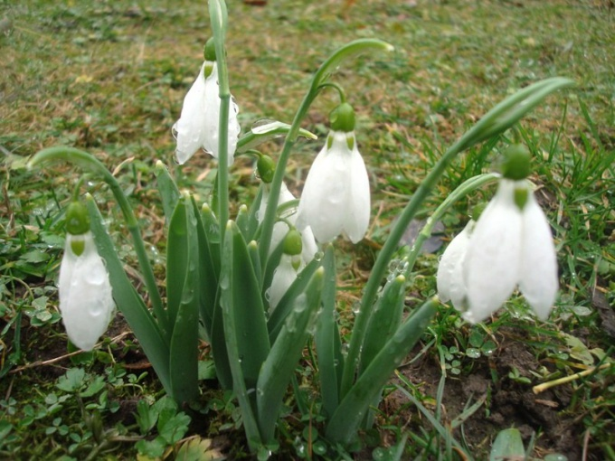 Подснежники - предвестники весны