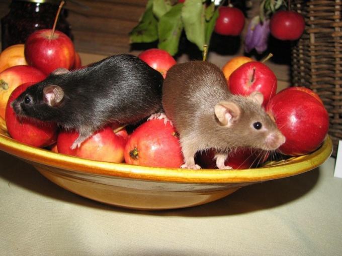 Как ухаживать за мышками