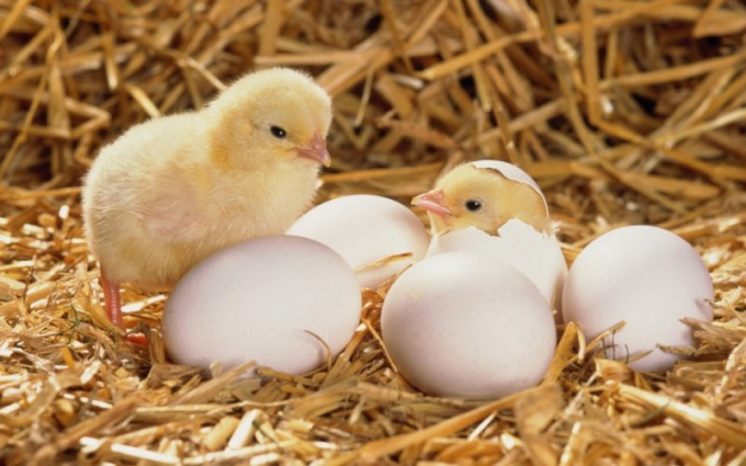 For proper breeding chickens need to be able to distinguish the fertilized eggs from the unfertilized