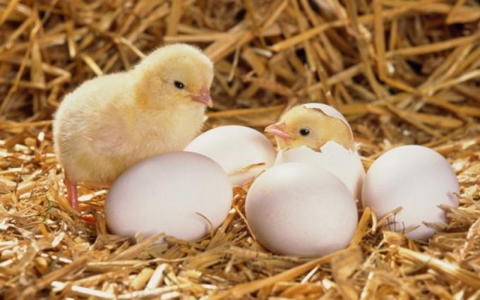 Для правильного разведения кур нужно уметь отличать оплодотворенные яйца от неоплодотворенных
