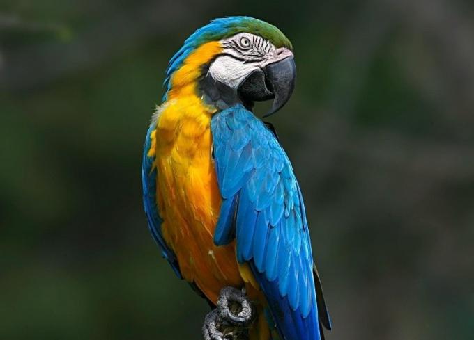 Крупный попугай Ара