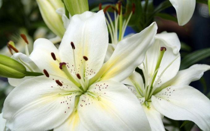 Лилейные – типичные представители однодольных растений