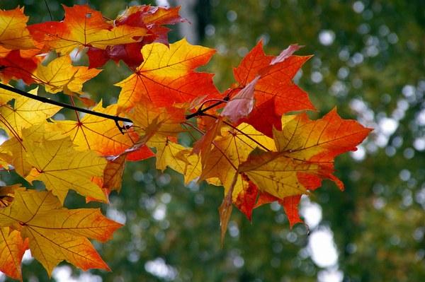 Листья клена особенно красивы в осенний период