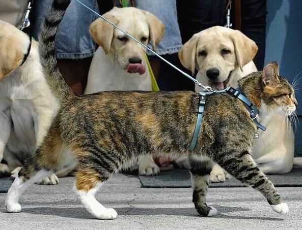 Кошка в шлейке - и удобно, и безопасно!
