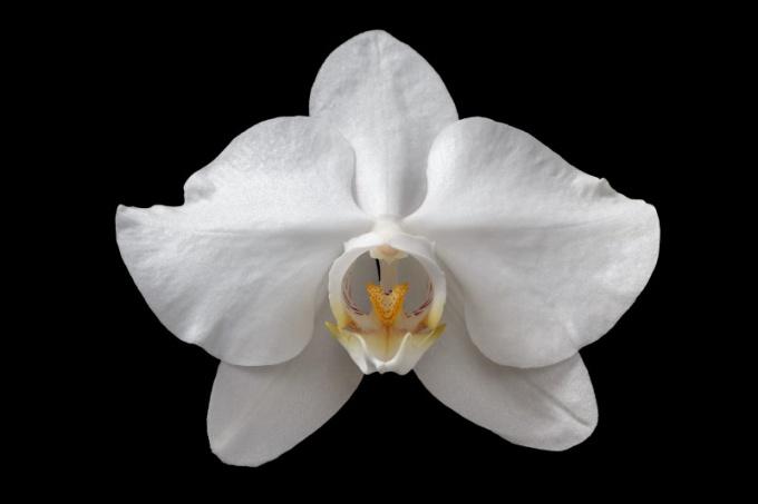 Фаленопсис приятный