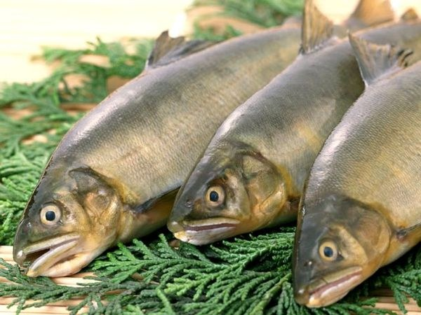 What fish most of the phosphorus