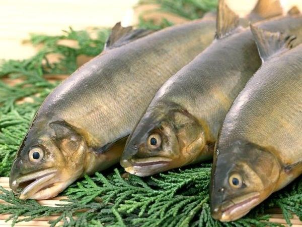 В какой рыбе больше всего фосфора