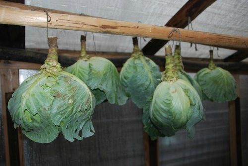 Как правильно хранить урожай капусты