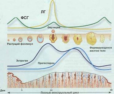 Формирование желтого тела в менструальном цикле