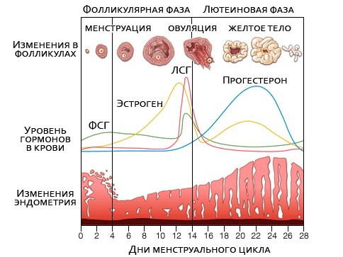 The formation of the corpus luteum in the menstrual cycle