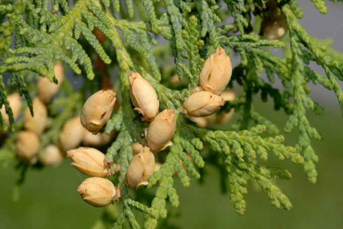 Arborvitae seeds from which to grow this plant at home