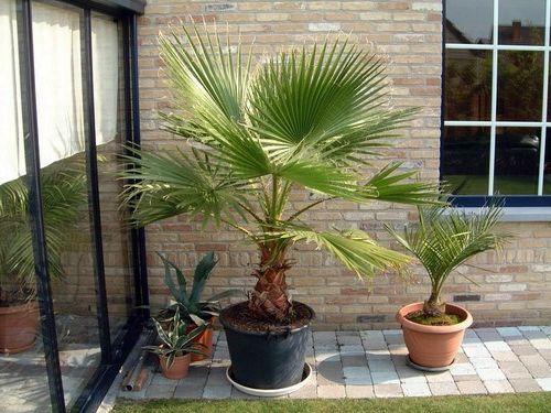 летом пальму можно выносить на свежий воздух