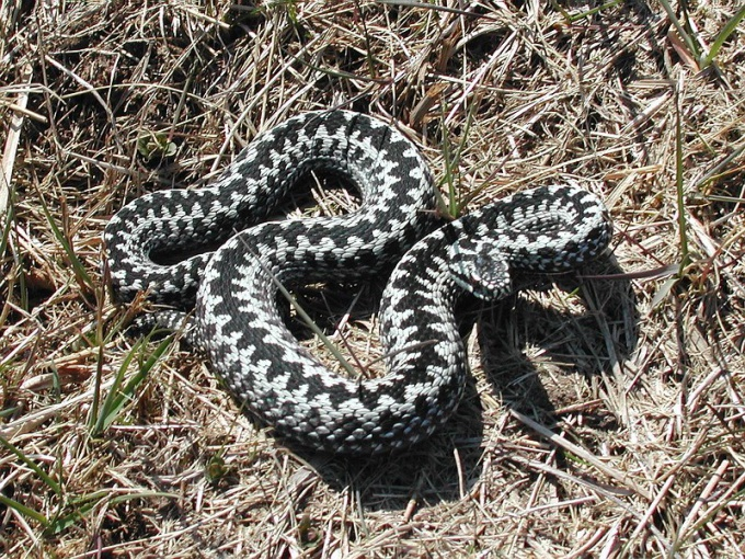 The adder is the most famous poisonous snake of Russia