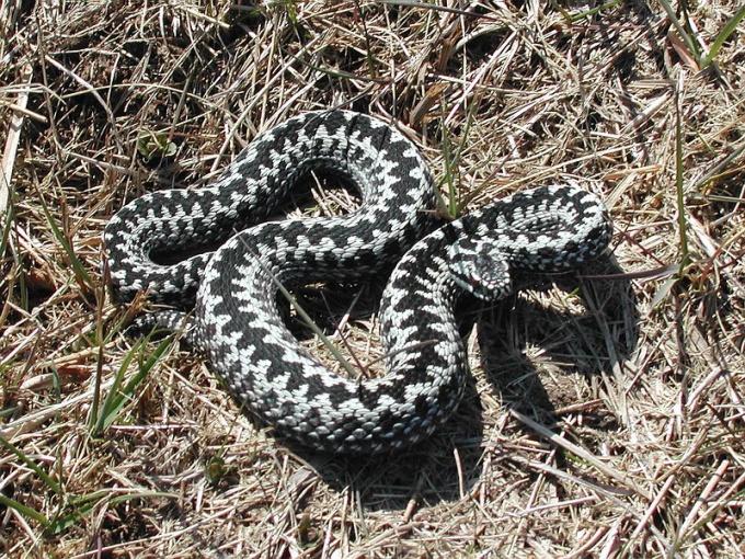 Гадюка обыкновенная - самая известная ядовитая змея России