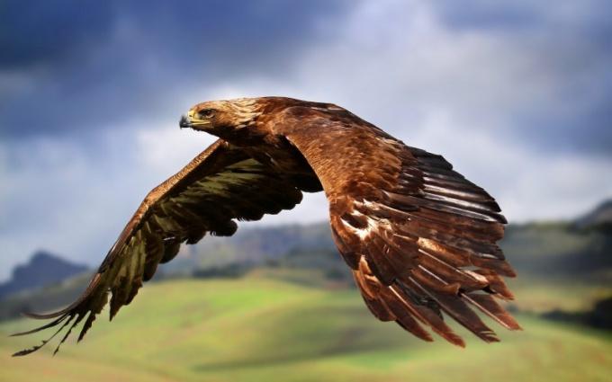 Беркут - это одна из самых опасных птиц в мире!