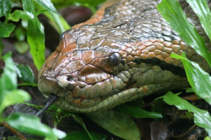 Анаконда - самая толстая змея в мире