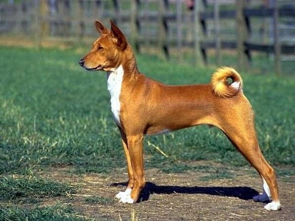 породы собак относятся к компаньонам