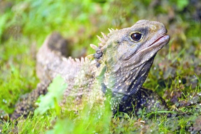 Гаттерия - единственный представитель отряда клювоголовых рептилий