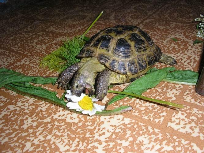 Черепахи сухопутные в домашних условия