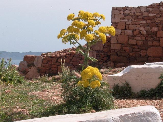 Какое растение называют омиком