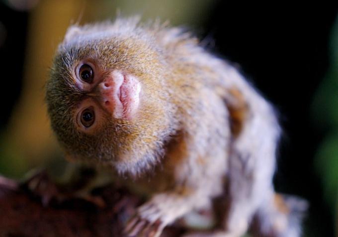 Игрунка карликовая - самая маленькая и забавная обезьянка в мире