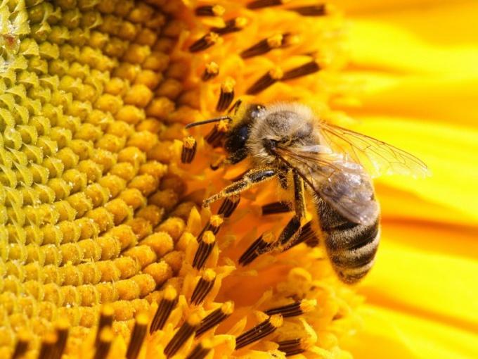 Пчелы - неутомимые насекомые-опылители!