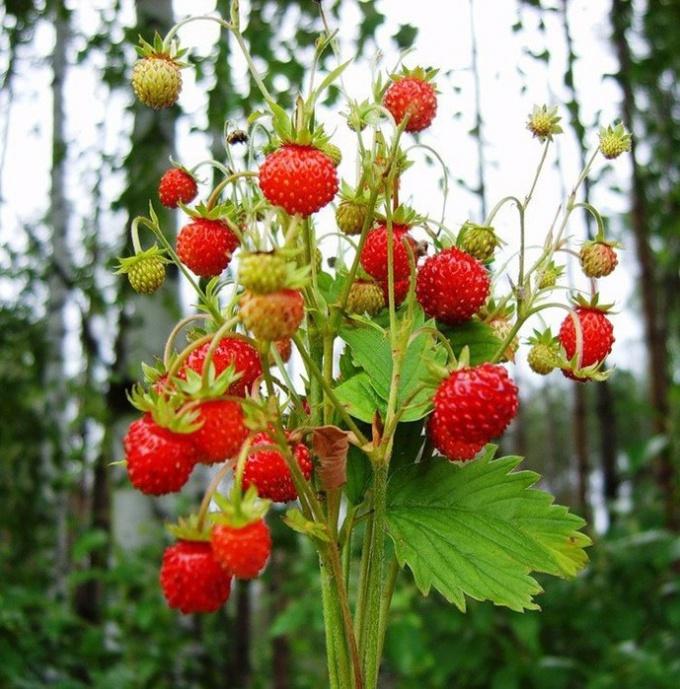 Какие ягоды растут в лесу под деревьями