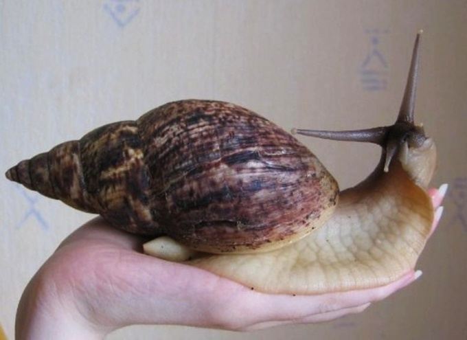 The Snail Achatina
