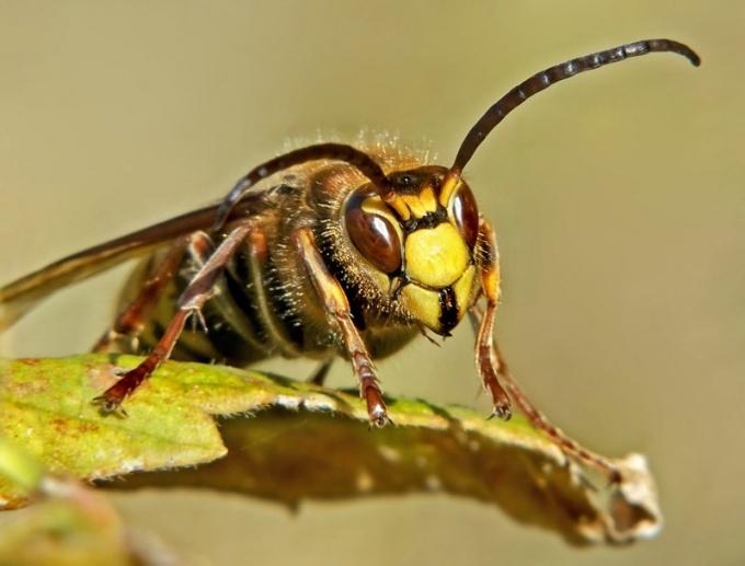 Какие насекомые самые ядовитые в мире