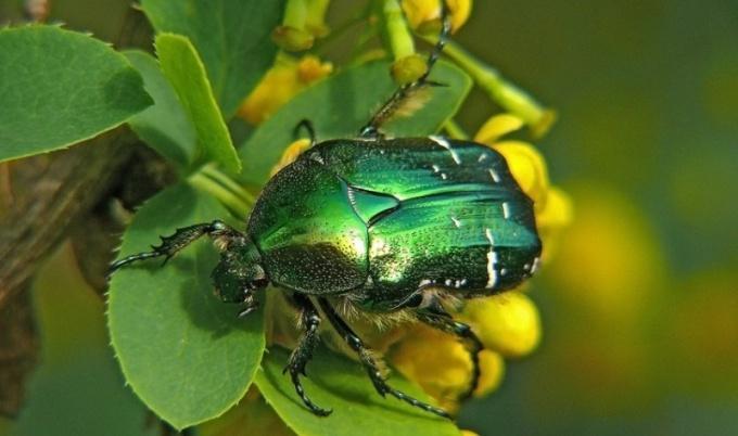 Какие жуки встречаются в средней полосе России