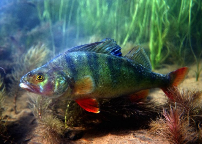 River perch is one of the most popular commercial fish