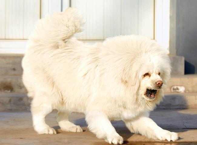 Полулегендарный белый тибетский мастифф