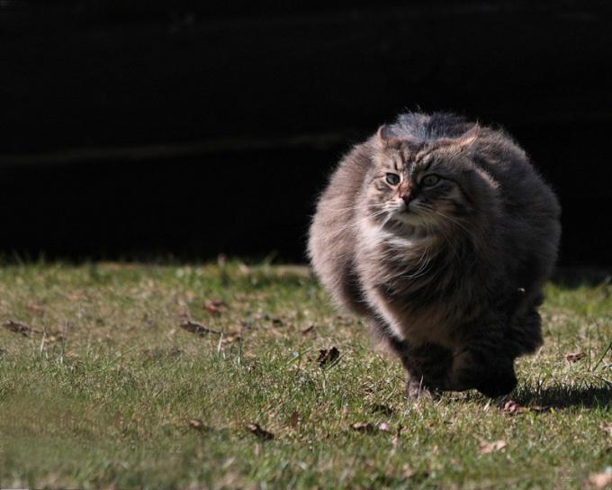 какой скоростью может бегать кошка