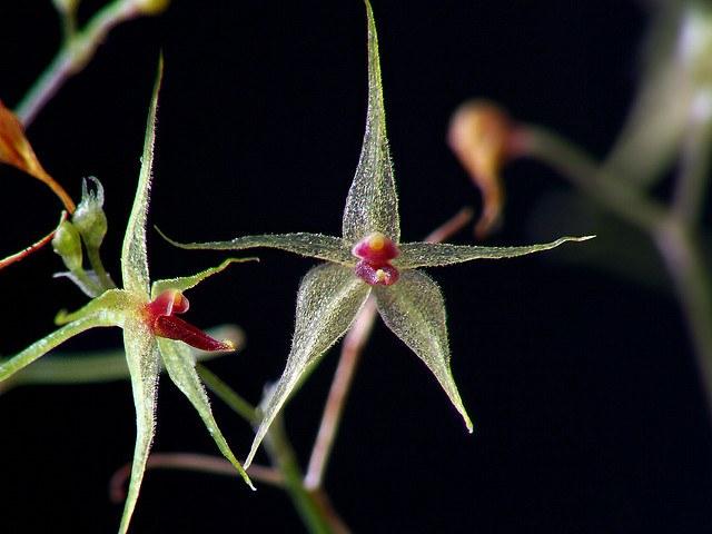 Миниатюрная орхидея Platystele jungermannioides