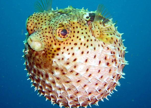 рыба раздувается как шар