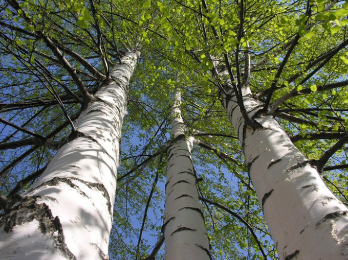 Какие деревья растут в России
