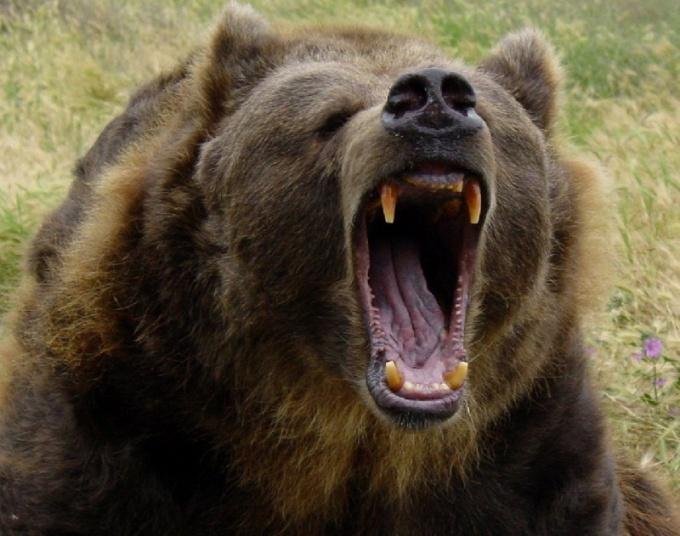 Медведь гризли - одно из самых опасных животных Америки!