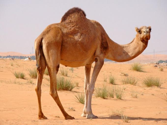 Верблюд лучше остальных животных приспособлен к жизни в пустыне!