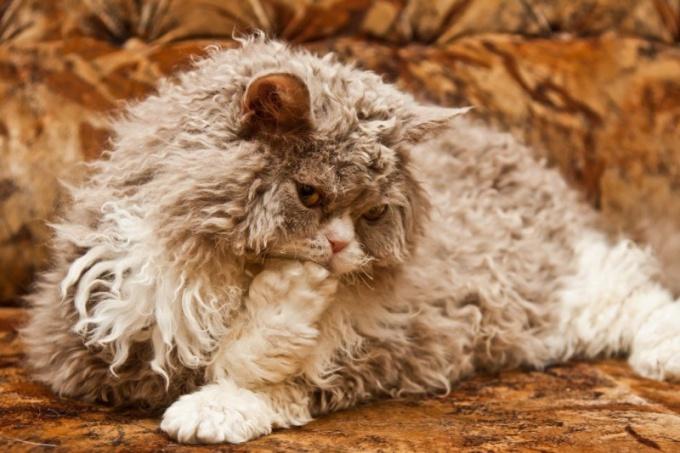 Существуют ли кудрявые кошки?