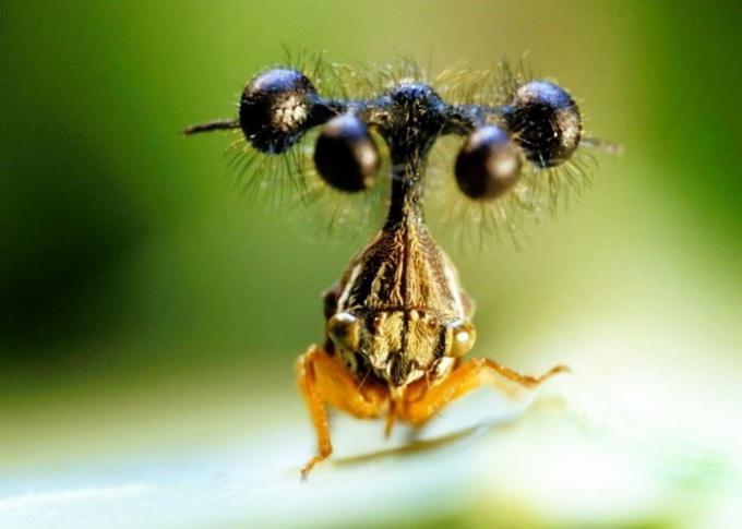 Бразильская горбатка - одно из самых страшных насекомых планеты
