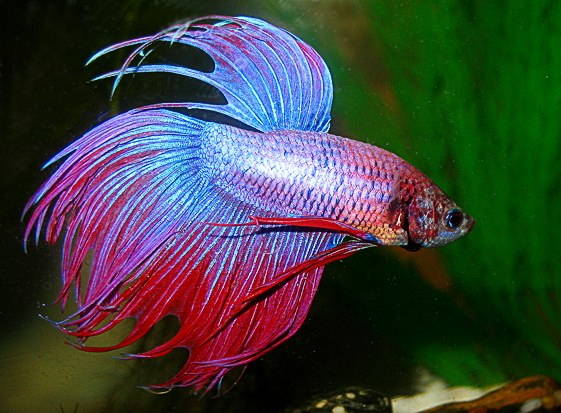 Bettas can live without oxygen and filter!