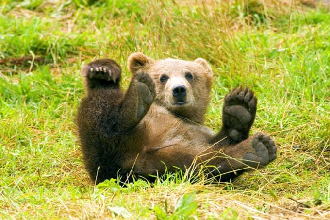 Бурые медведи - одни из обитателей лиственных лесов