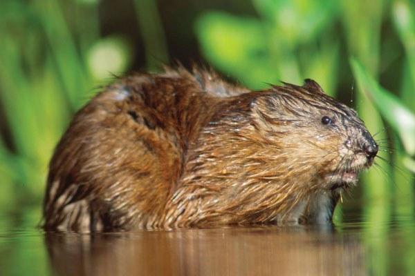 Ондатра - типичный обитатель болот, прудов и заводей