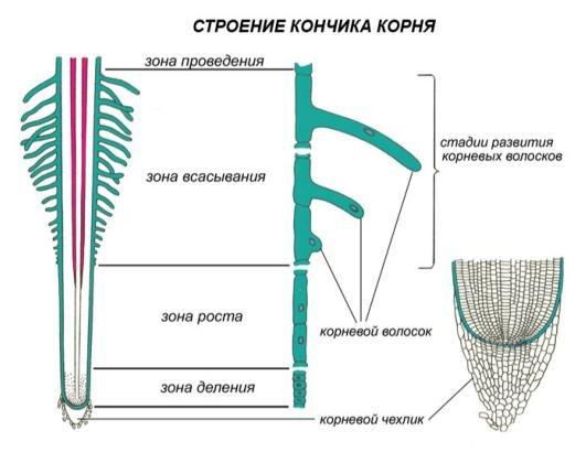 Какие функции у корня растения